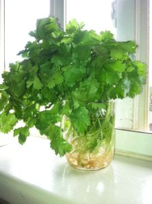 Cilantro with roots final