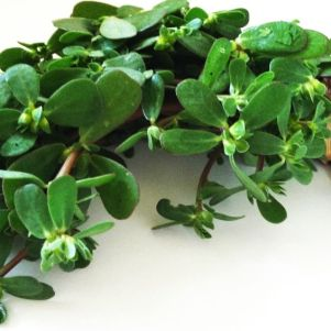 bunch of purslane