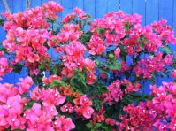 pink bougainvillea against purple fence