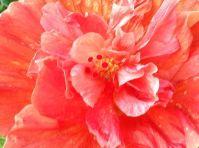 salmon hibiscus