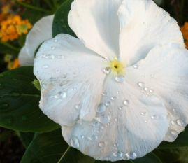 white flower with dew