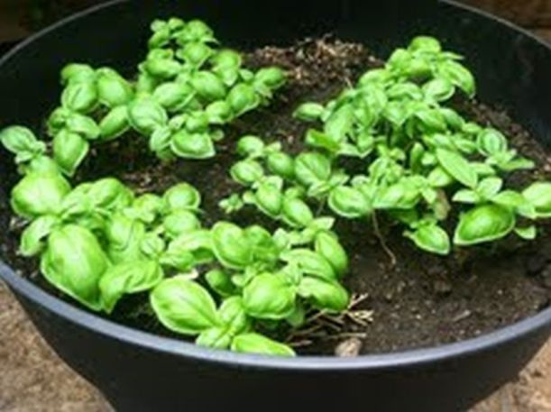 Young Basil Seedlings 1