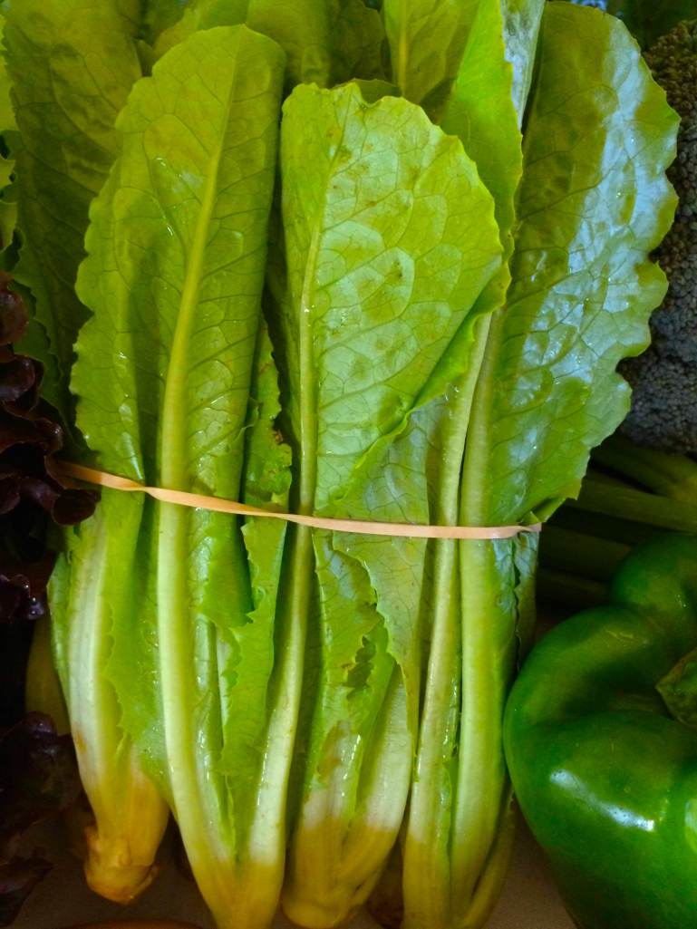 Beautiful Baby Romaine Lettuces