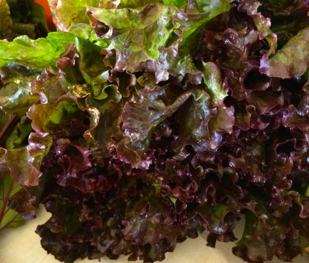 Isn't this organic red leaf lettuce gorgeous?