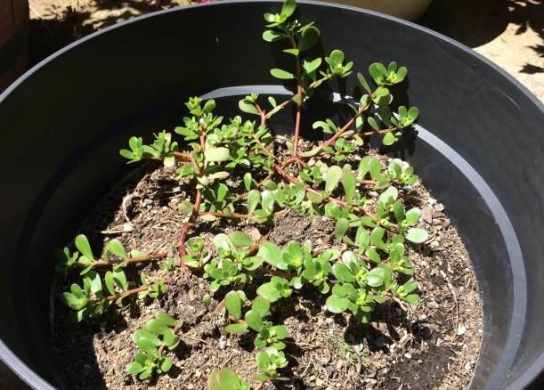 purslaneplant