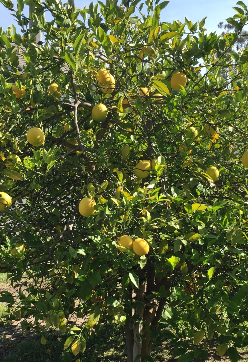 Debbie's Meyer Lemon Tree